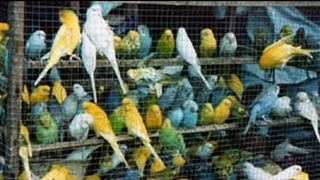 VISIT OF TOLLINTON BIRDS MARKET | MUST WATCH URDU/HINDI