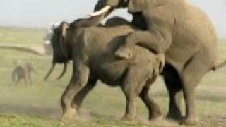 Repeat youtube video Elephant en rut au Kenya