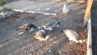 Ptaki ozdobne, Pawie