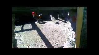 Kaczki mandarynki i karzełki łapciate