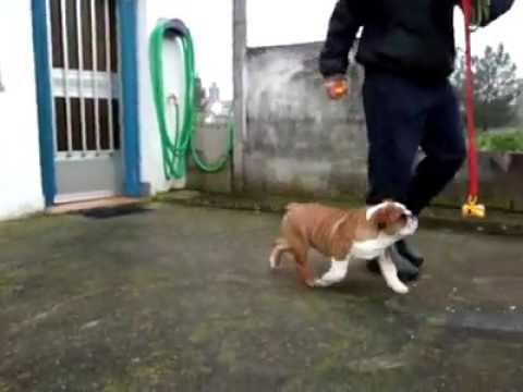 Trinidad and Tobago English bulldog. Import from Spain DELEMAVOSBULLS MR. JAMES DEAN