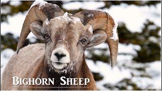 Bighorn Sheep in Canada
