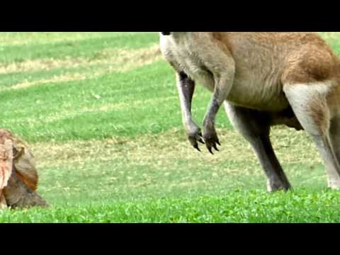 Frill-necked Lizard and Red-Necked Wallaby Meet