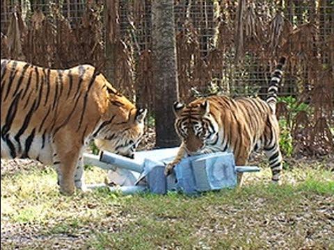 Tigers Vs Rhino Youtube