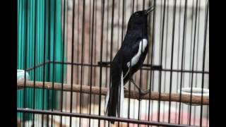 suara burung kacer agar kacer rajin berkicau