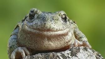Faune et Flore : La grenouille et le crapaud - Documentaire animalier
