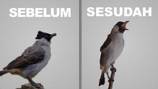 Burung Kutilang Gacor Cukup 1 Minggu ini dia Takaran Extra Foodingnya