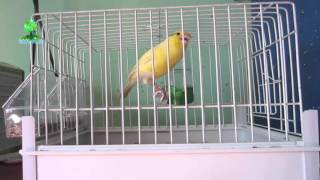 Canary Singing Belgian(Video) 2