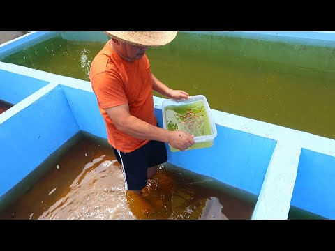 FRESH WATER TROPICAL MOLLY FISH HARVEST