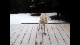 お庭も雪に覆われました。 れぴ(サルーキ)は慎重にテクテクテク^^