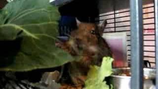 degu eating cabbage