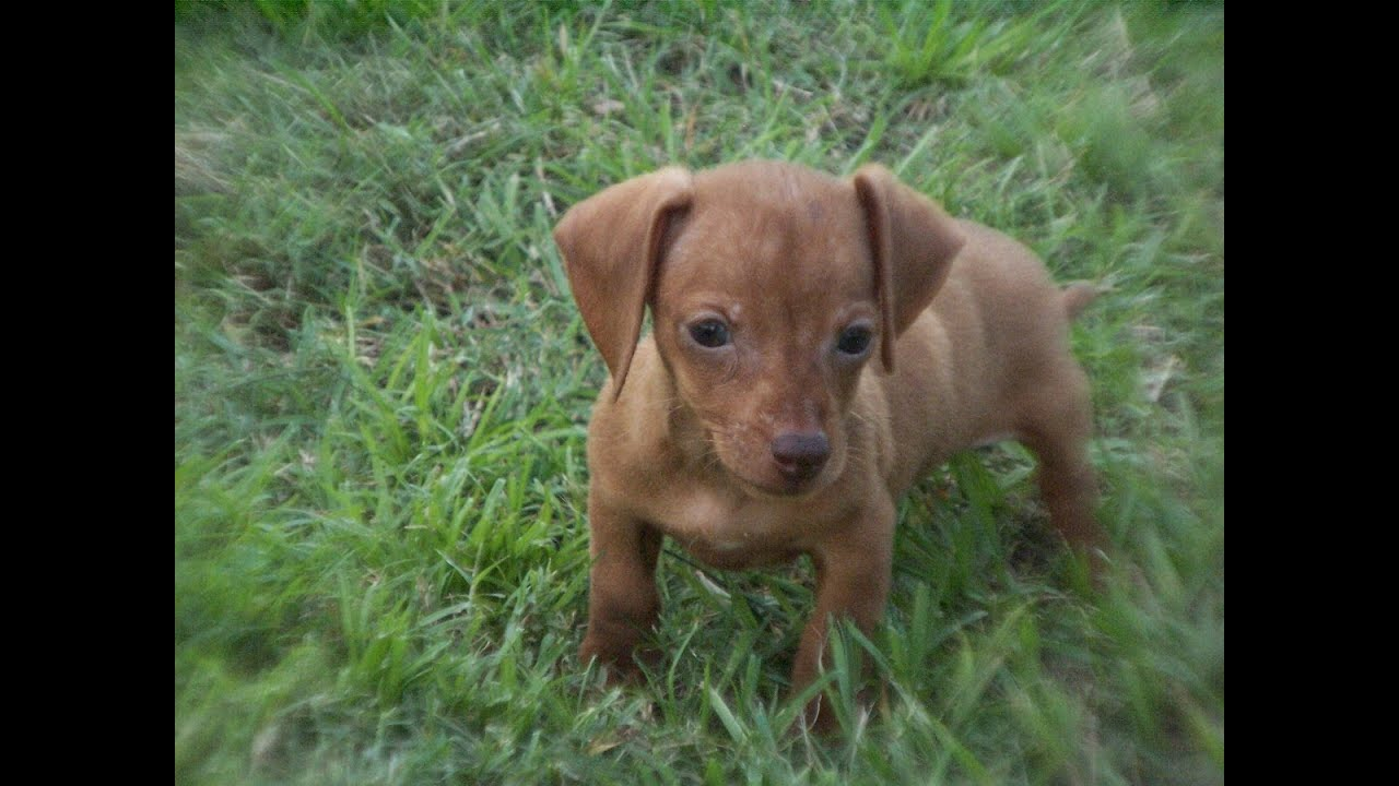 puppies for sale in columbia sc miniature dachshund puppies dogs for sale in columbia 2461