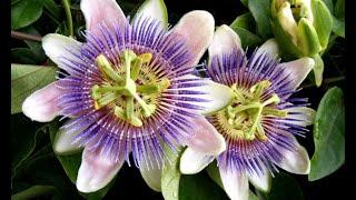 Flor de la pasión - Decogarden
