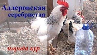 Адлеровская серебристая порода кур . Обзор птицы в моём хозяйстве.