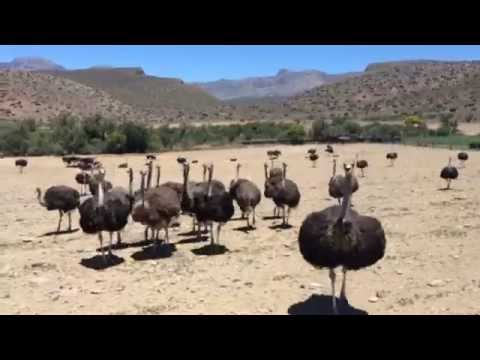 Ostriches on the road from Cape Town to Prince Albert