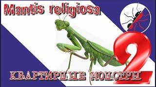Богомол Mantis religiosa. ОХОТА. Квартирные монстры 2.