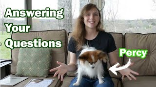 Answering Your Questions About Percy // Percy the Papillon Dog