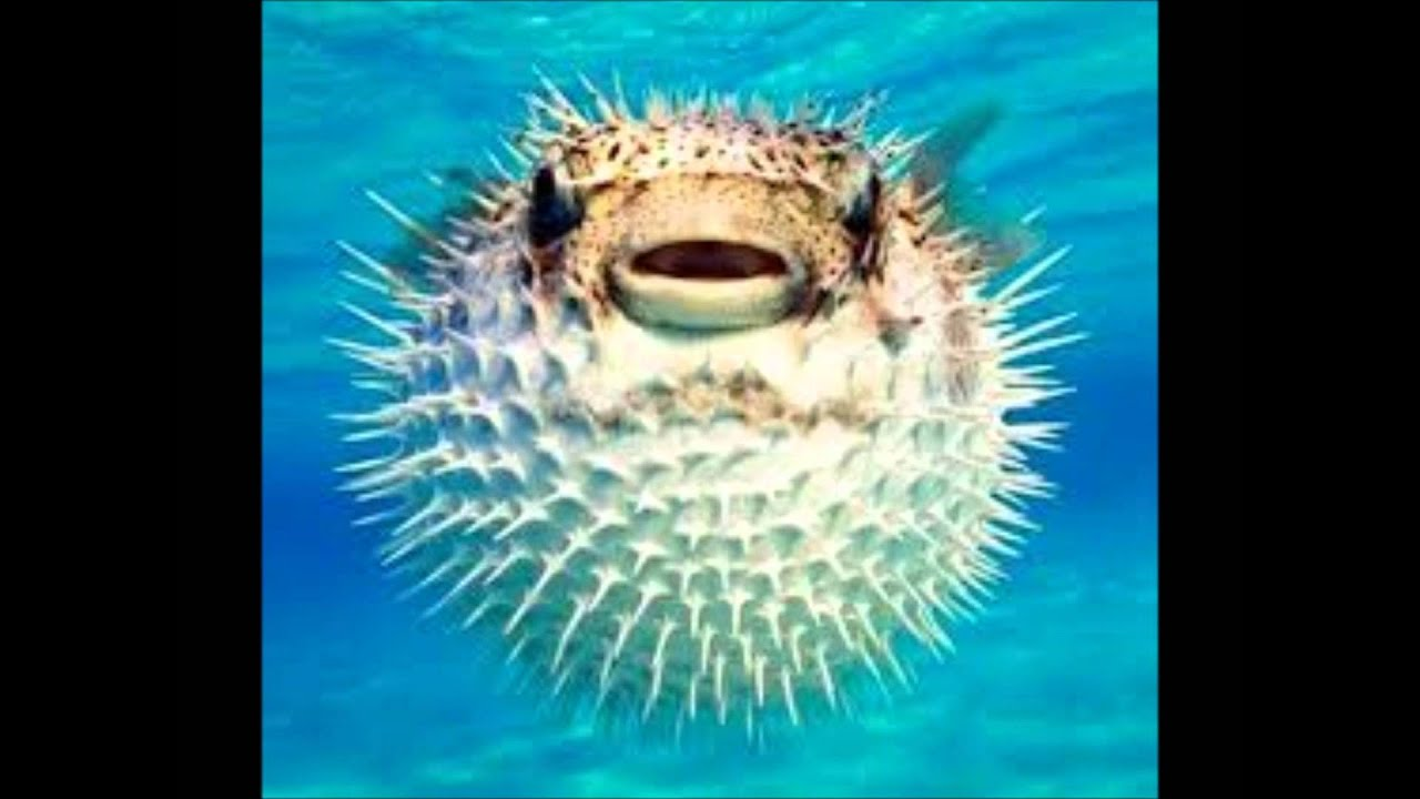 Henry the puffer fish by catherine paver youtube for Puffer fish facts