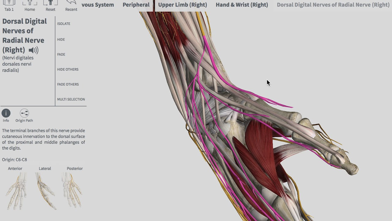 Anatomie Image anatomie avant bras - youtube