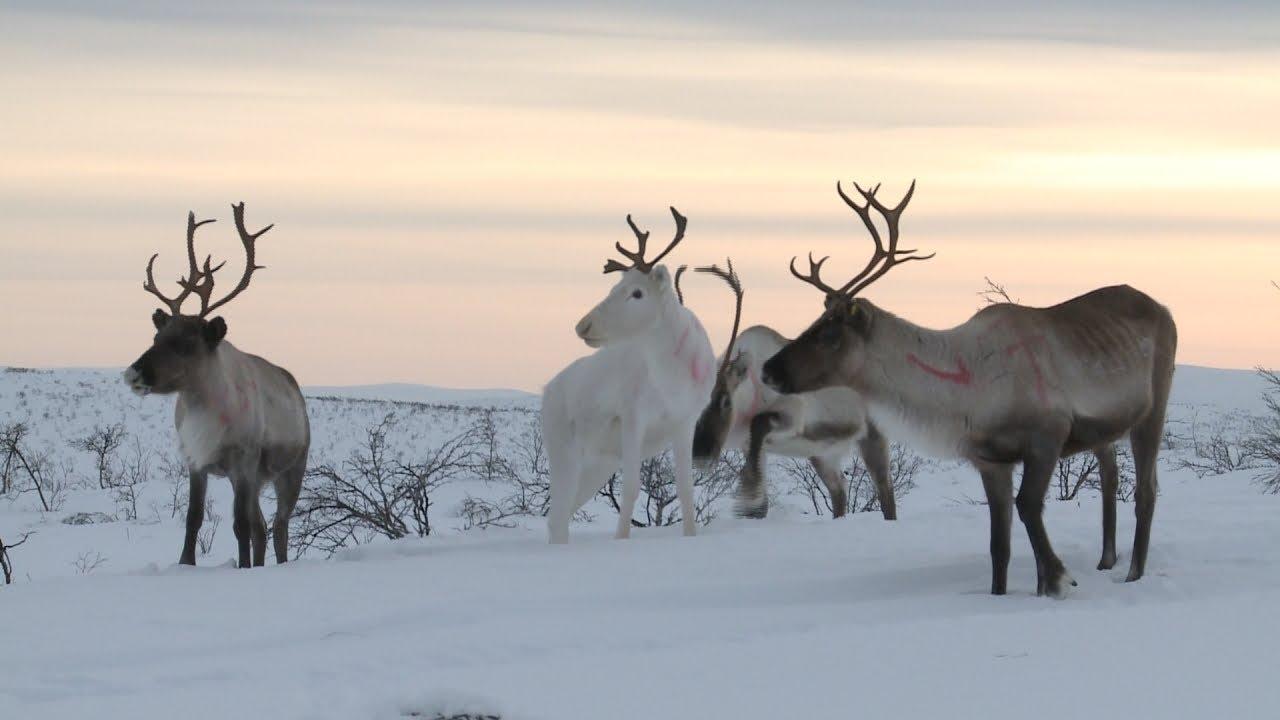 Courses de rennes l 39 orgueil des samis faut pas r ver en laponie extrait 2 youtube - Decoration de noel rennes ...