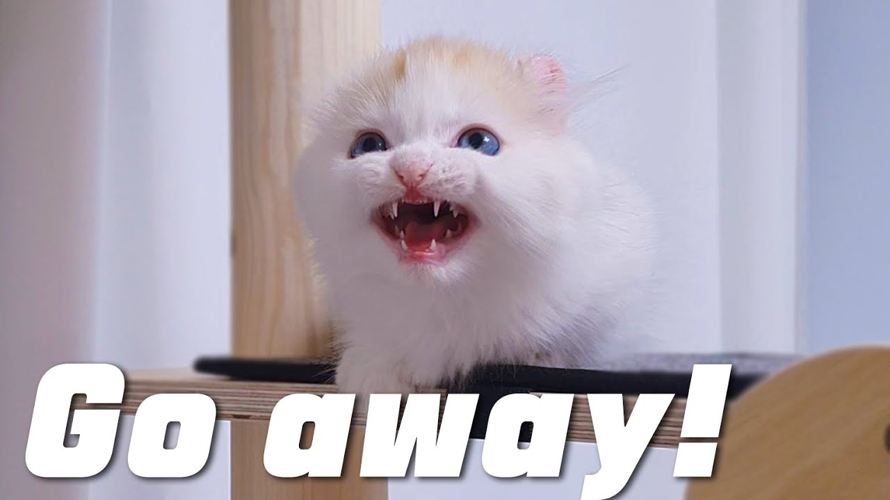 I Used a Translator On a Talkative Kitten. Did It Work Well?