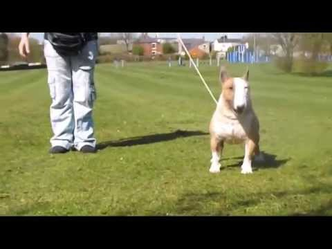 Angels Warriors Tiny Peabody ''Pea'' Miniature Bull Terrier