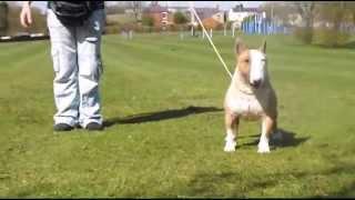 Angels Warriors Tiny Peabody ''Pea'' Miniature Bull Terrier