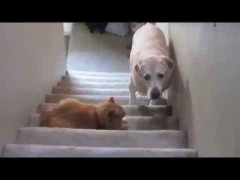 Приколы! Ты не пройдёшь собака  Доминирующие коты! 2014 Funny Cats vs Dogs Compilation