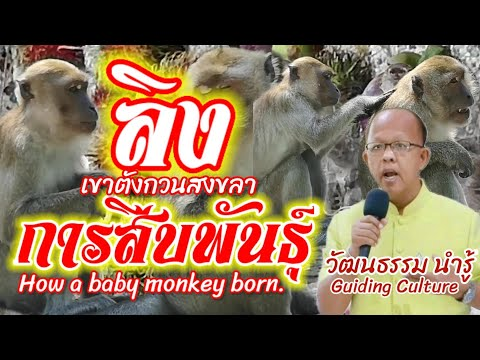 #การสืบพันธุ์ลิง#