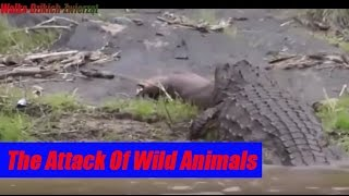 Atak Dzikich Zwierząt - The Attack Of Wild Animals  (Animal Fights)