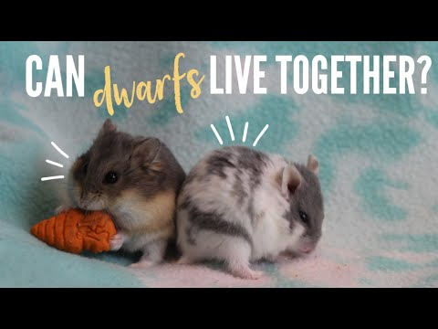 Can DWARF Hamsters Live Together?