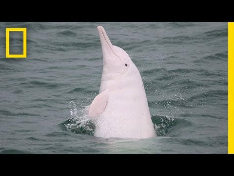 Pink Dolphins Are Real—and Disappearing From Hong Kong | National Geographic