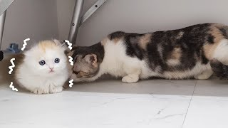 Introducing Munchkin to New Kittens for the First time│2. MEET AT LAST