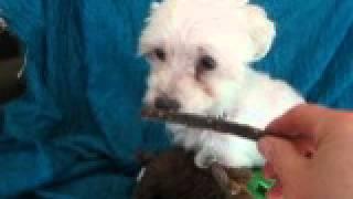 Video Of Adoptable Pet Named Sammy Maltese
