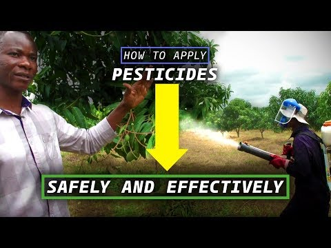 How to Spray Safely and Effectively (Chemical Pest Control for Mango)