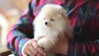 Pomeranian cinsi köpeklerin bakımı nasıl olmalı?