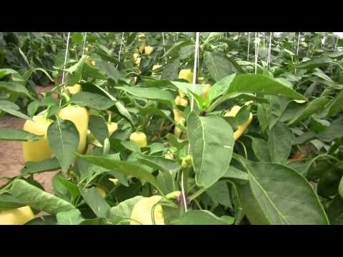 Сноувайт F1 семена перца сладкого (Rijk Zwaan) культура в поле