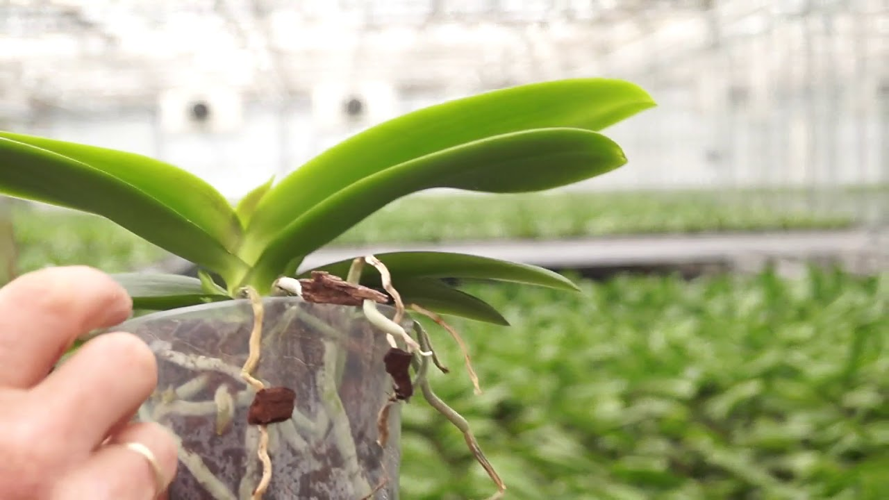 Orchideen wieder blühen bringen