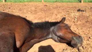 Mare Horse having Dreams while sleeping must have been a good dream