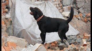 Живодеры убили титулованного пса-спасателя