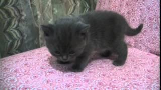 Шотландский котёнок девочка (окрас: серый)
