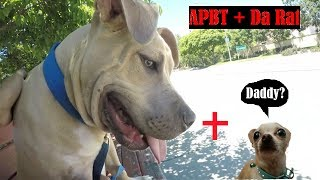 Owning An American PitBull Terrier For One Day!! Good Guard Dogs?