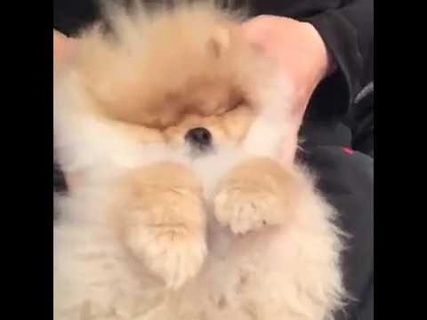 Massage Amazing Pomeranian