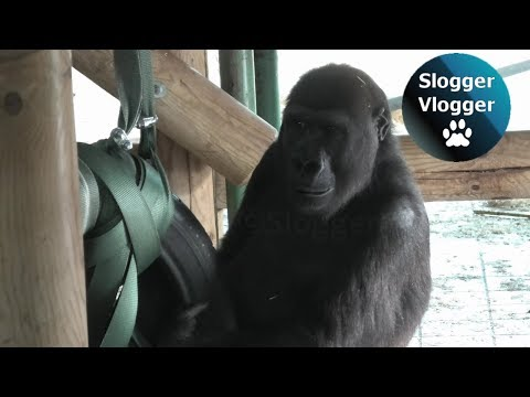 Lope The Gorilla Doesn't Get Tired Of His New Toy