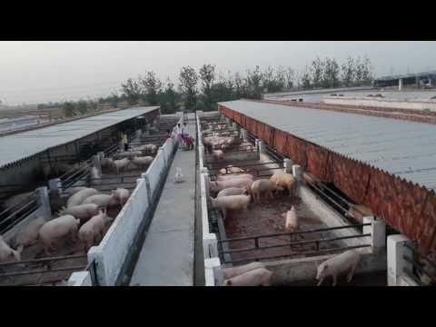 Pig farming Haryana India