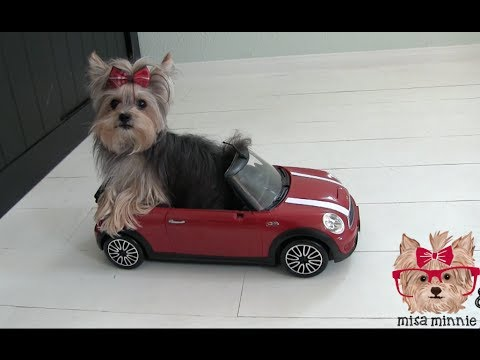 Amazing Cute Dog Tricks with Tiny Dog Misa Minnie