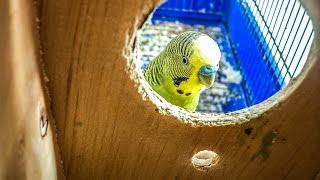 How to Get Budgies to Breed