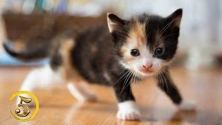 Złota Piątka: Najpiękniejsze rasy kotów!