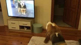 Собака смотрит телевизор 🤣