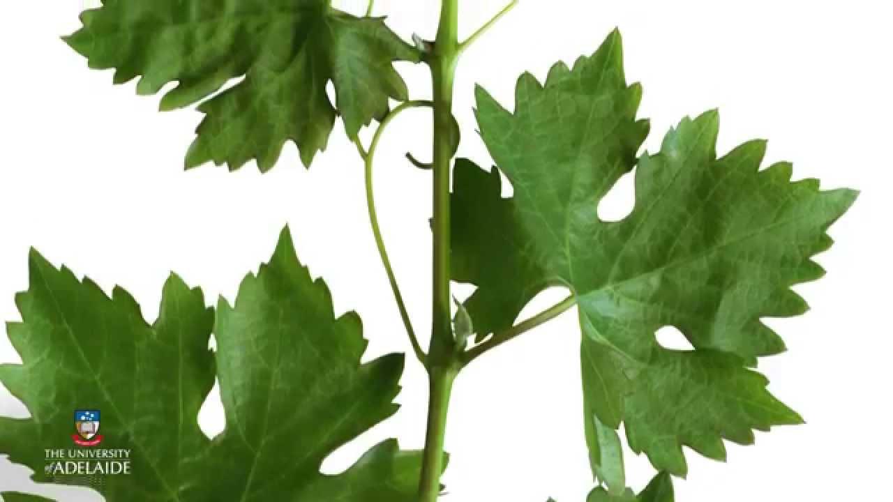 World of Wine: Vine anatomy - YouTube